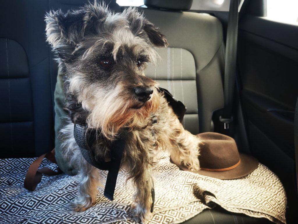 Nuestro perro debe ir seguro durante el viaje en coche