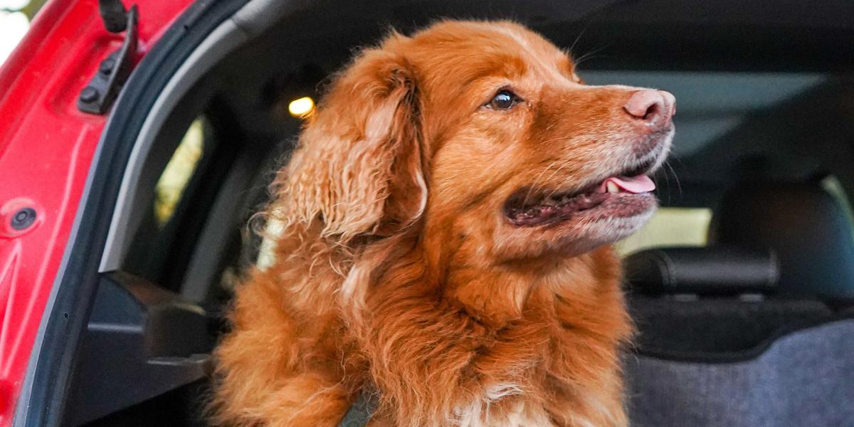 Sistemas de seguridad y normativa para viajar con tu perro en coche